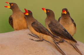 Oxpeckers ready for adventure. Photo by Steve Garvie (CC BY-NC-SA 2.0)